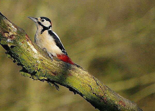 Woodpecker 4