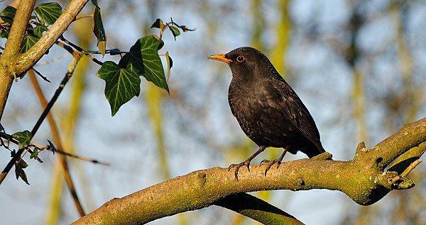 Blackbird 3