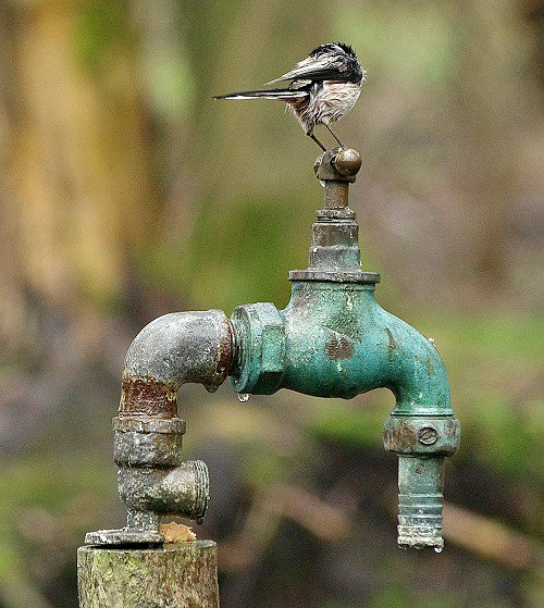 Long Tailed Tit on Tap.