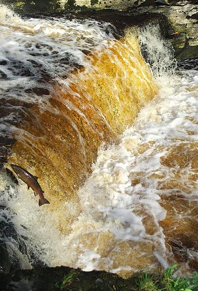 Salmon Leaping.