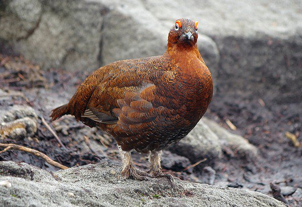 Grouse with a grudge!