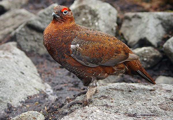 The (male) Red Grouse