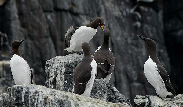 A Bazaar of Guillemots