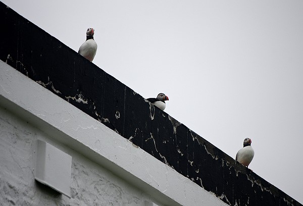 Puffins On The Roof