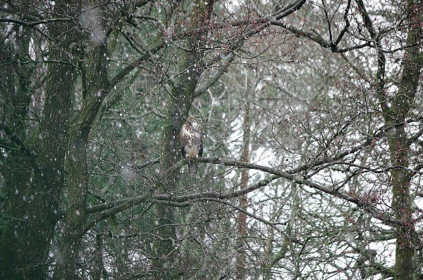Spot the Buzzard!