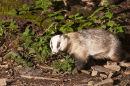 Badger boar
