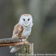 Barn Owl - 14