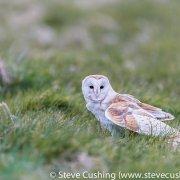 Barn Owl-7