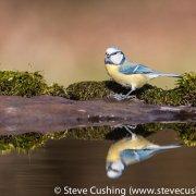 Blue Tit Reflection-2