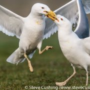Caspian Gulls Fighting-3