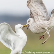Caspian Gulls Fighting-6