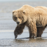 Female grizzly Bear in sea