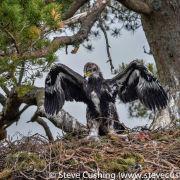 Golden Eagle Chick on Nest