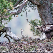 Golden Eagle on nest