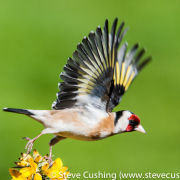 Goldfinch flying off gorse