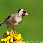 Goldfinch on gorse