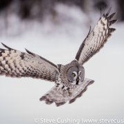 Great Grey Owl Flying-12