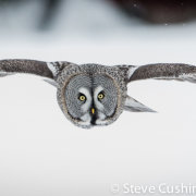 Great Grey Owl Flying-14