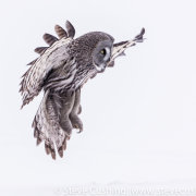 Great Grey Owl Flying-4