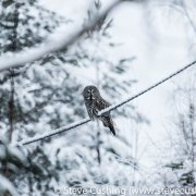 Great Grey Owl on Perch-10