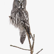 Great Grey Owl on Perch-2