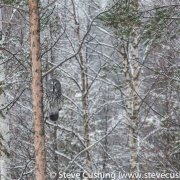 Great Grey Owl on Perch-3