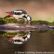Great Spotted Woodpecker Reflection