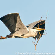 Grey Heron with nesting material