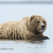 Grizzly Bear - cooling down
