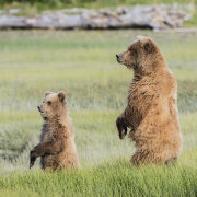 Grizzly Bear - female and cub standing