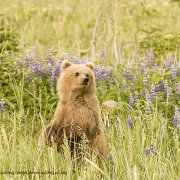 Grizzly Bear Cub in Lupins