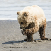 Grizzly Bear Cub with clam