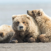 Grizzly Bear Family on beach