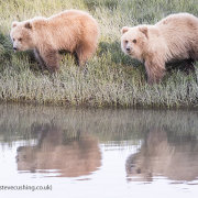 Grizzly Bear Reflections