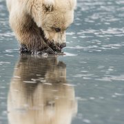 Grizzly Bear cub with clam - reflection