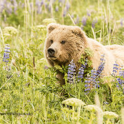 Grizzly Bear in Lupins
