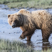 Grizzly Bear in Water