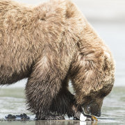Grizzly Bear with clam