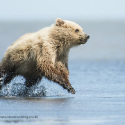 Grizzly bear cub - running in water