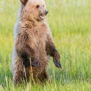 Grizzly bear cub - standing up