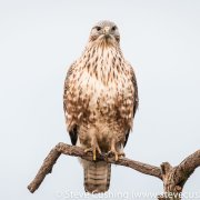 Juvenile Long-legged Buzzard
