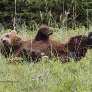 Male Bear Rolling