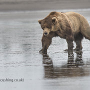 Male Grizzly Bear at low tide