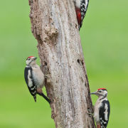 Male and two Juvenile Great Spotted Woodpeckers
