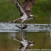 Osprey capturing fish