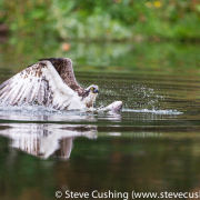 Osprey in water with fish