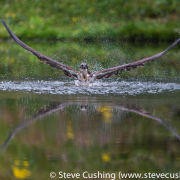 Osprey reflection