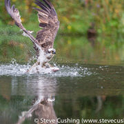 Osprey riding fish