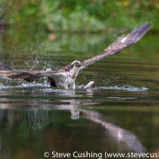 Osprey taking off with fish 2
