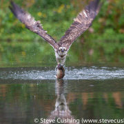 Osprey taking off with fish